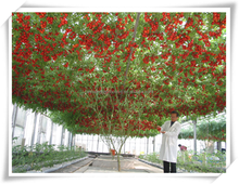 Low cost clearly Agricultural Plastic Film Greenhouse for tomatoes