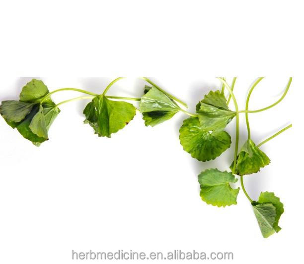 New dried hydrocotyle asiatica gotu kola homeopathic remedies medicine tcm