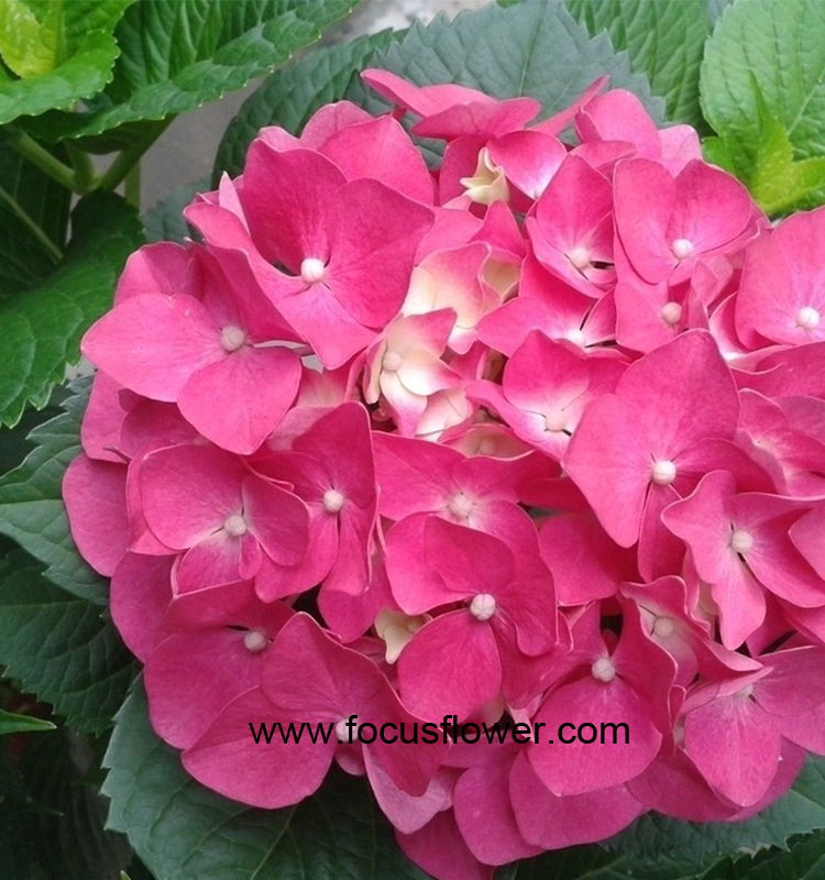 Colorful Ornamental Plants Hydrangea From Kunming