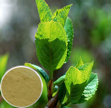 Polyphenols 95~98% EGCG 40%~98%,100% natural green tea extract