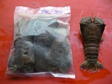 Slipper Lobster (ORIENTAL FLATHEAD LOBSTER)