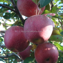Fresh Qinguan apple from Gansu province fresh Qinguan apple