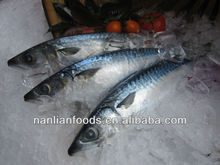 good quality pacific mackerel / sell fish