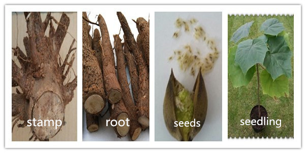 Certificate support paulownia roots for sale