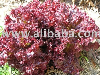 Lechuga Roble Rosa- Red Oak lettuce