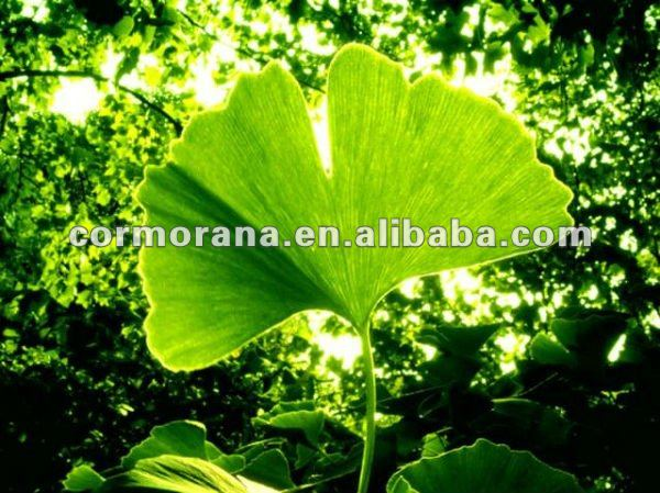 Ginkgo Biloba leaf extract powder 24.0%Flavones 6.0% lactones by HPLC