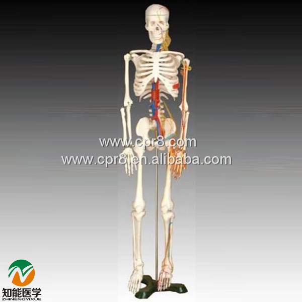 BIX-A1005 Human skeleton model with heart and vessels model (85CM)