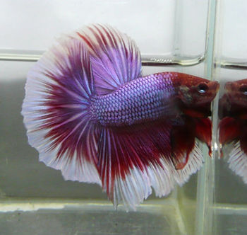 Halfmoon betta buy live betta fish sale product on for Best place to buy betta fish