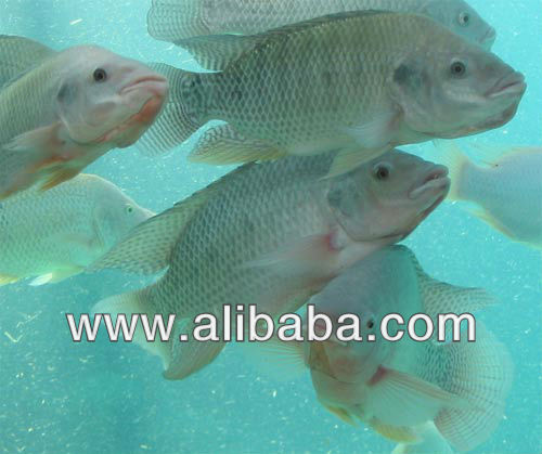 Frozen or fresh cultivated Tilapia