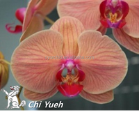 CYL37 Grow in Taiwan Orange with mauve stripes large Daily Butterfly orchid