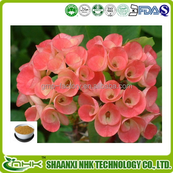High Quality Euphorbia Milii Extract Powder, 5:1 10:1 20:1