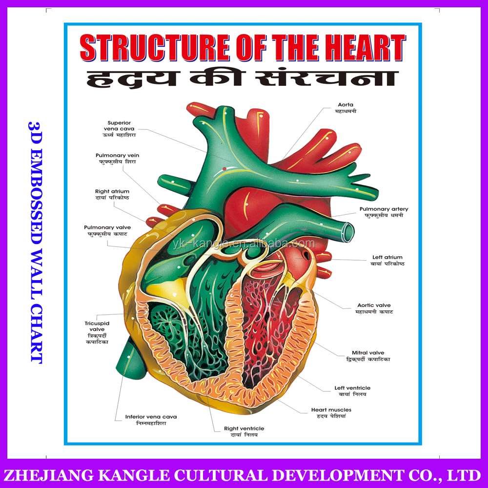 India language PVC environmentally painting educational baby toys wall chart with heart system anatomy