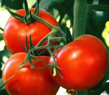 Choosen top quality F1 Tomato Seeds RedhoneyT01