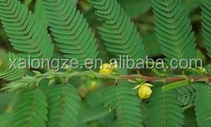 100% natural plant extract Cassia Nomame