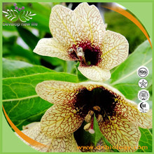 High quality Henbane extract 5:1 10:1 20:1 Hyoscyamine 0.7% -1.5% for health supplement