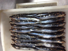 New landing sea frozen anchovy