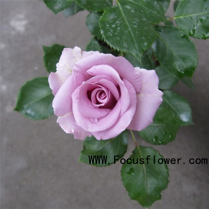 high quality online shopping fresh rose flowered fresh cut flowers alibaba kenya rose for home decoration