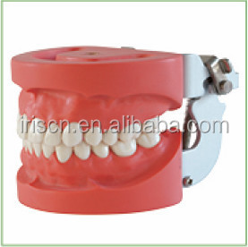 Hard gum Standard Teeth education models with screw for dentist