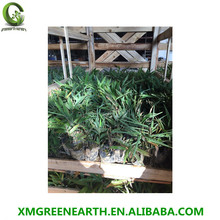 evergreen moso bamboo plants PHYLLOSTACHYS PUBESCENS