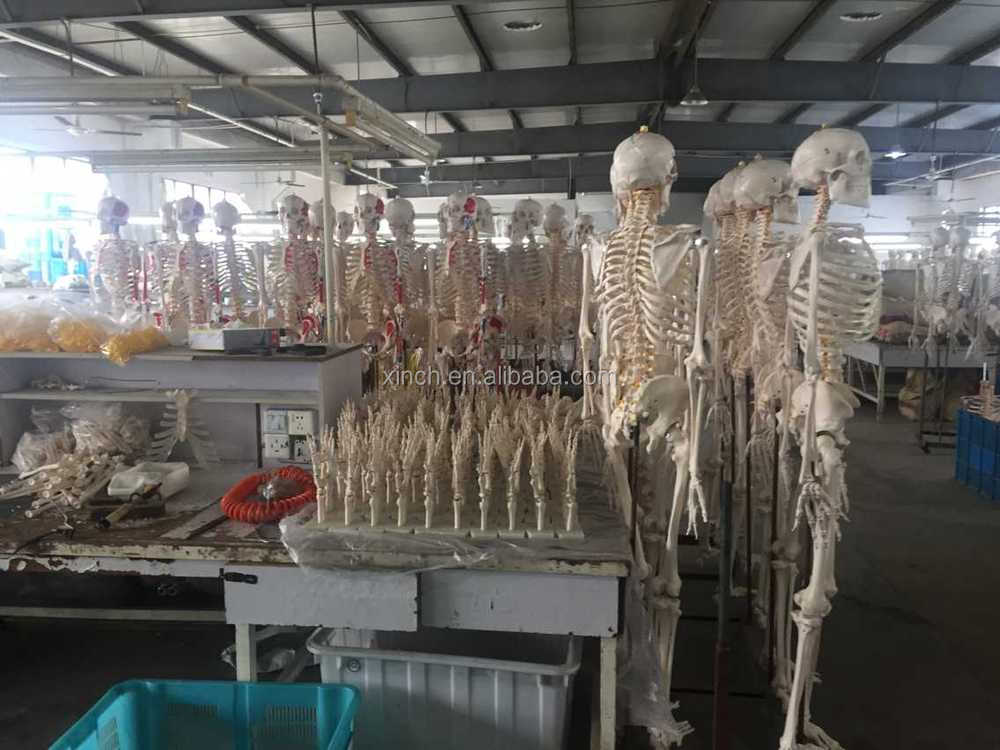 180cm Plastic Human anatomical Skeleton With Color Muscle and Ligaments