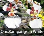 BB Orchids, Orchid plants fresh from Thailand : Kampangsan White