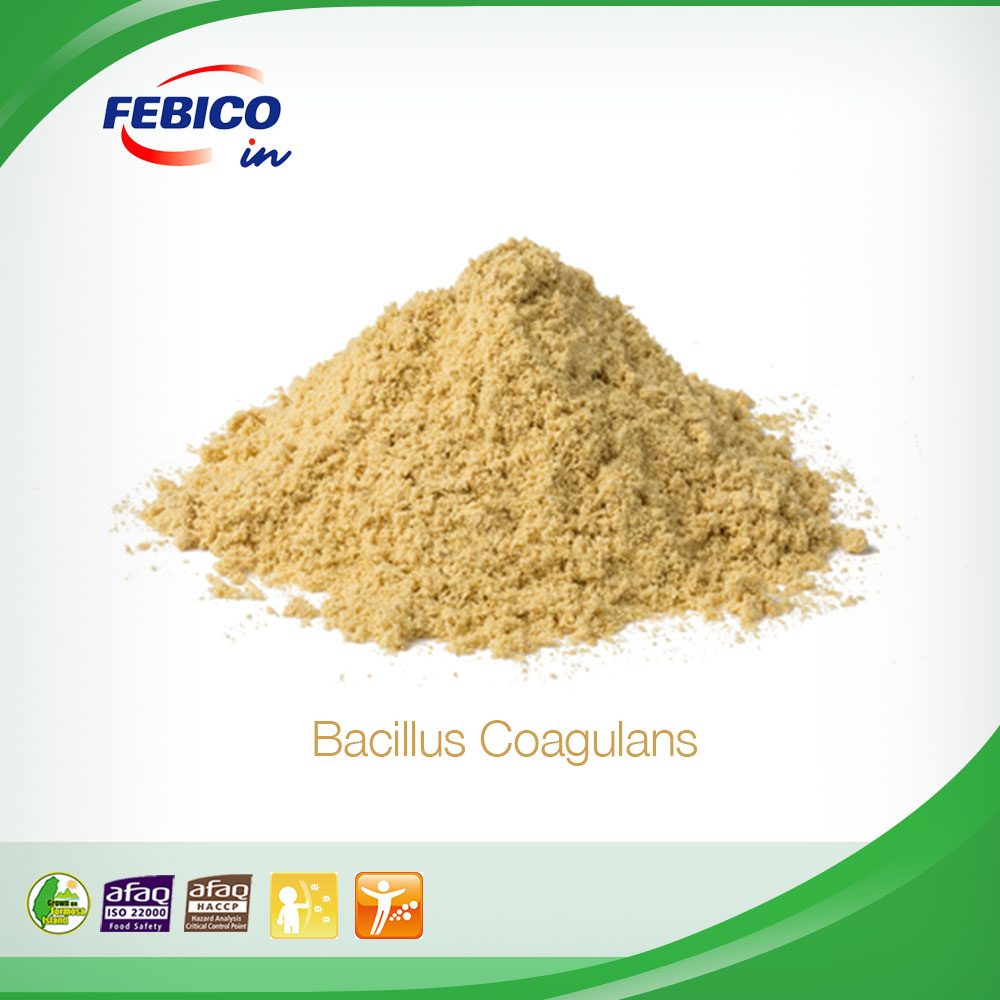Bacillus Coagulans Supporting Healthy Cholesterol and Provide Positive Effects In Health Circulation