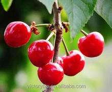 100% nature GMP Factory supply acerola cherry extract 17% -25%Vitamin C