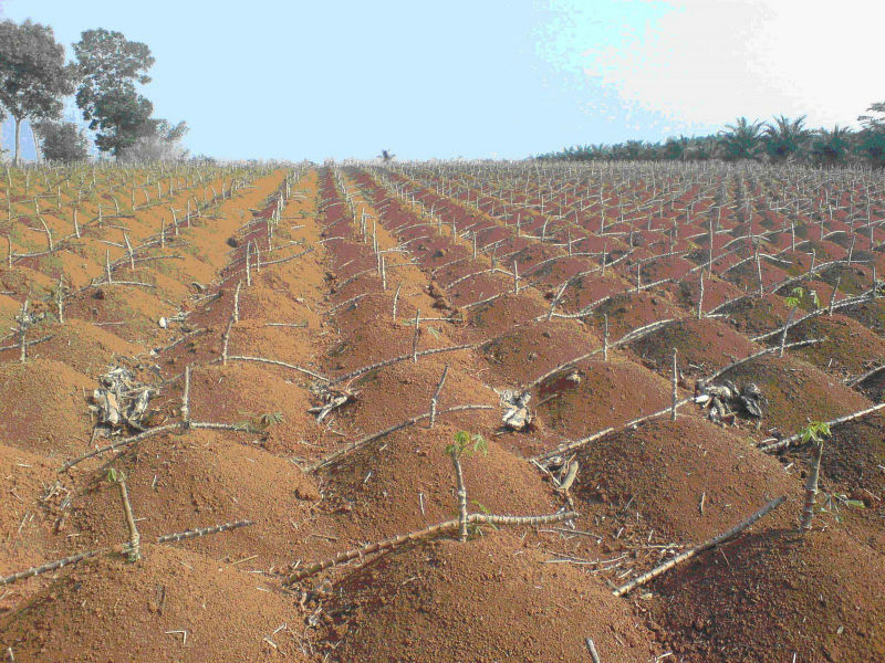 GIANT CASSAVA PLANTATION PROJECT