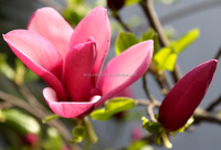 Flos Magnoliae Extract , Magnolia Flower Extract , Magnolia Liliflora Extract Powder