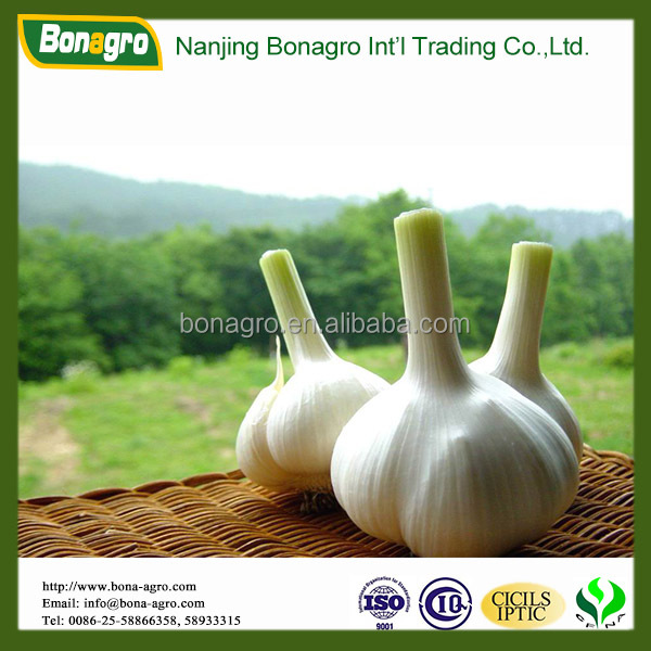 Garlic/Natural garlic price china supplier