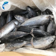 frozen bonito fish with price bonito skipjack whole round best quality