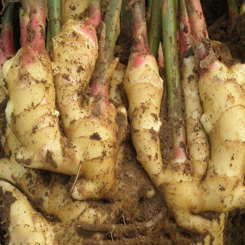Varieties of mature ginger wholesale