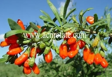 Acme Fate new season dried goji berries