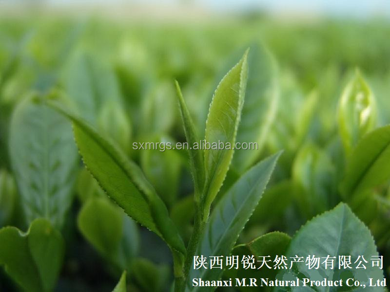 Natural Green Tea Extract,100% Natural Green Tea Powder,Green Tea Polyphenol