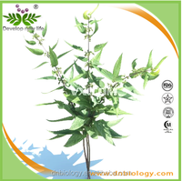 ISO approved manufacturer supply Nettle leaf p.e 1% Silica/Nettle silicone/Beta Sitosterol nettle leaf