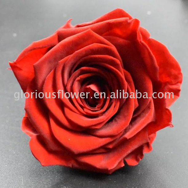Factory Directly fresh cut rose flower with long time life wholesale for wedding decoration