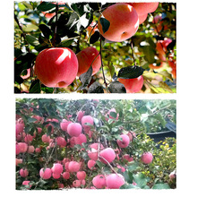 Chinese orchard fresh apple fruit wholesale distributors