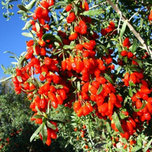 goji in pakistan