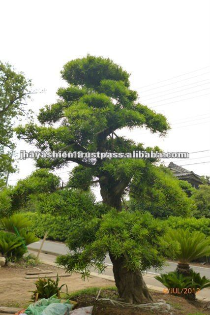 The macrobonsai is most suitable for landscape gardening