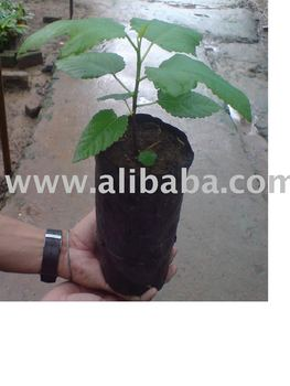 Tissue Culture Anjeer/FIG