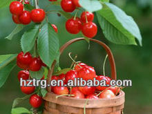 high quality acerola cherry extract powder