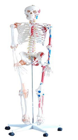 SKELETON BODY