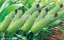High Yield Chinese Hybrid Open Pollinated Corn Seed For Planting