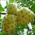 Noni Powder, Juice, Concentrate, Organic, Fruit Powder, Juice Powder, Capsules, Tablets, Juice, Leaf Powder, Seed Powder