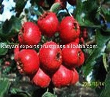 Excellent Quality & Reasonable Price of Spray Apple Dried Powder
