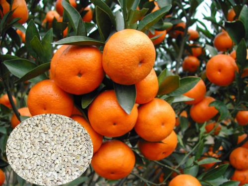 Grapefruit seeds for sale