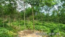 Oil Palm, Rubber, Agriculture Land