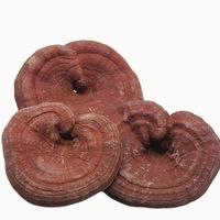 Best factory OEM Inteley cultivation organic lingzhi mushroom