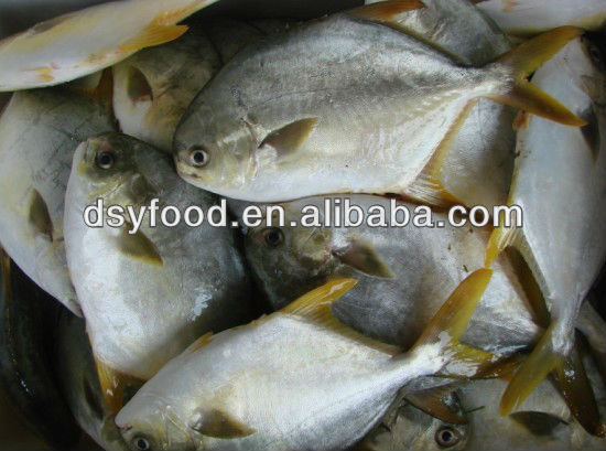 Tope Quality Grade A frozen seafood frozen golden pomfret whole round frozen golden pompano fish