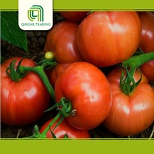china bulk tomato fresh and past super appetite for sale